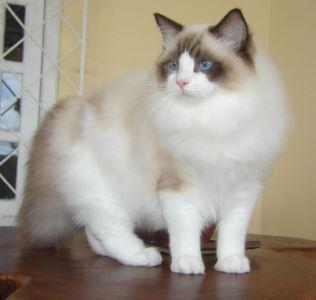 ragdoll, cat breeds