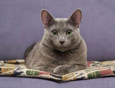russian blue, cat breeds