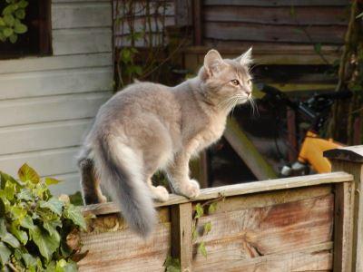 somali, cat breeds