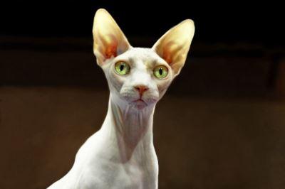 Spynx cat, cat breeds