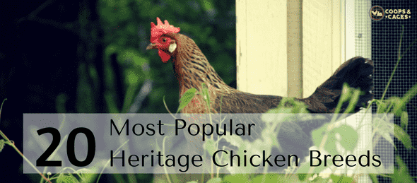 heritage chicken breeds, egg-laying breeds, chickens