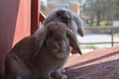 pet rabbits, rabbit care