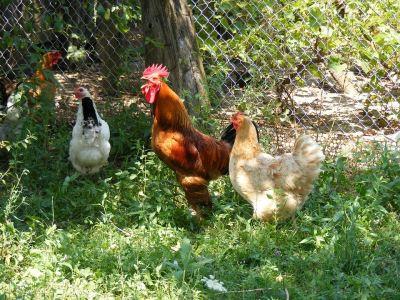 chicken coop, chicken care, chooks, eggs, hens