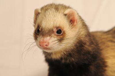 ferrets, pet ferrets, ferret care, ferrets as pets