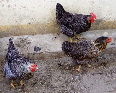 chicken myths. chickens, chicken coops, chicken care