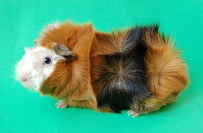 guinea pigs, guinea pig care, guinea pig traveling, pet care guide, guinea pig care