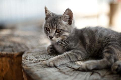 pet cat, pet care, cat care, cat breeds