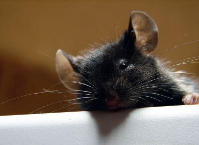 pet rats, pet mice, rat care
