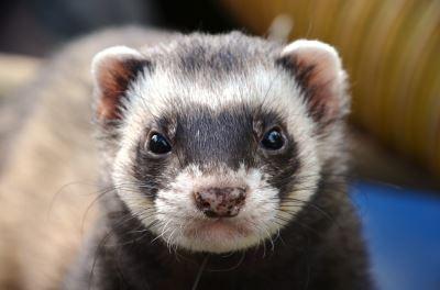ferret, ferret care, pet ferrets, ferret behaviours