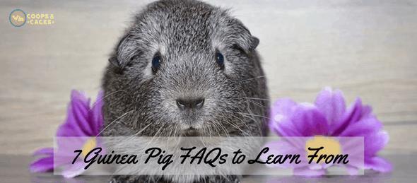 guinea pig, guinea pig care, guinea pigs, cavies, FAQs