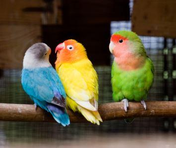lovebird, pet bird, birds, bird care