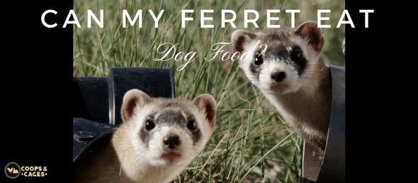 pet ferret, ferret, dog food, ferret care,