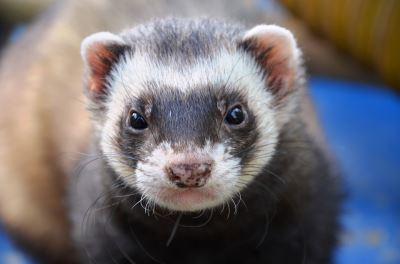 ferrets, ferret, ferret care, ferret hair loss