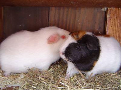guinea pigs, guinea pig breeding, guinea pig care