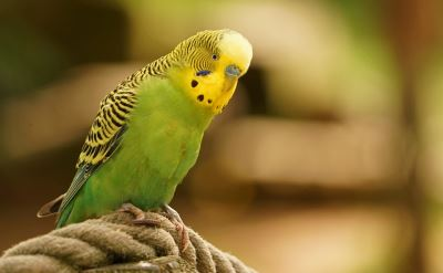 Parakeets, bird training, pet birds, bird care