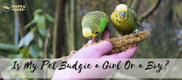 budgie, bird breed, bird care, birds
