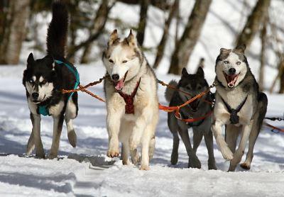 Siberian huskies, huskies as pets, dogs