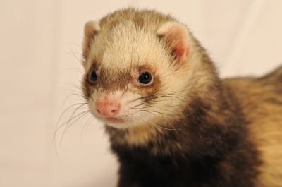 ferrets, ferret care, ferret care guide, ferret biting