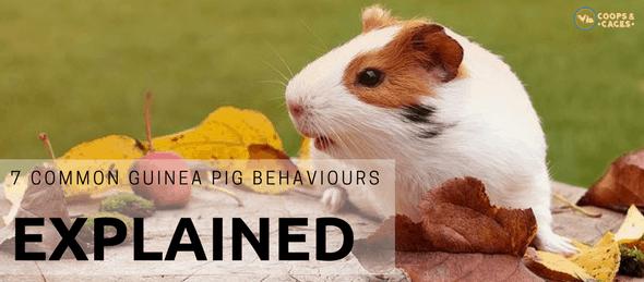 guinea pig behaviours, guinea pigs, cavies, common guinea pig behaviours