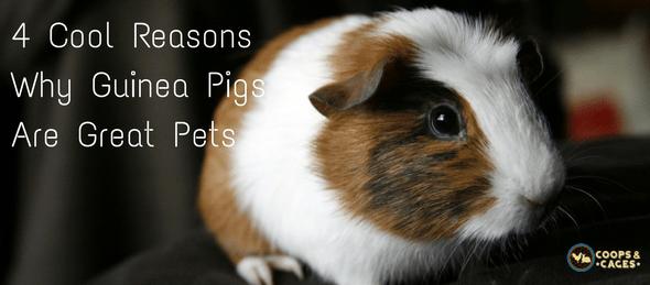 guinea pigs as pets, guinea pigs, pet care