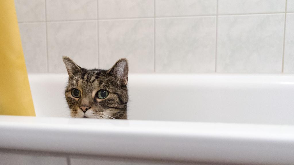 bathe your pet cat, pet cat, cats, pet care