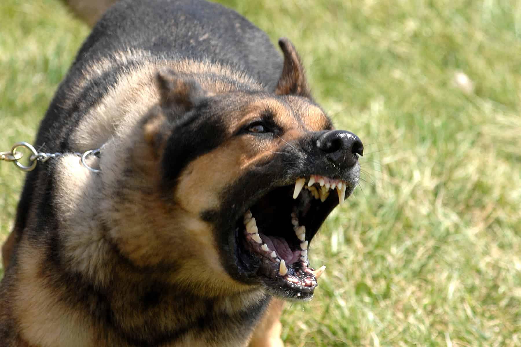 dogs, teach your dog to speak, dog barking