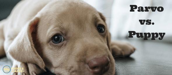canine parvovirus, dog care, pet care, parvo