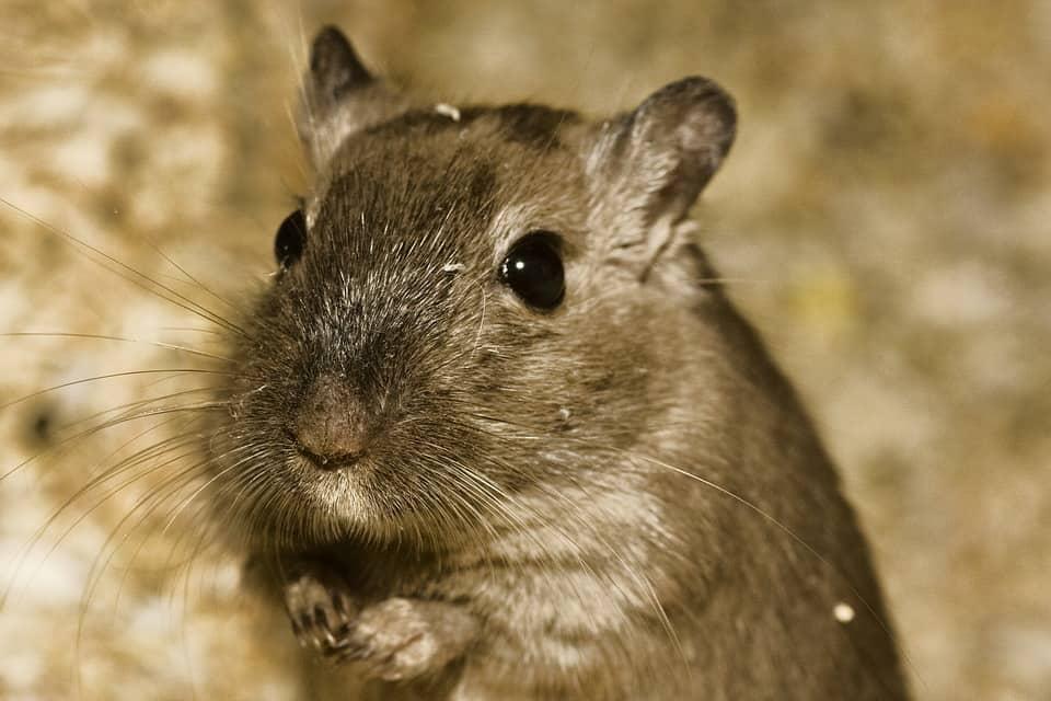 choose hamsters as pets, hamsters as pets, pet care