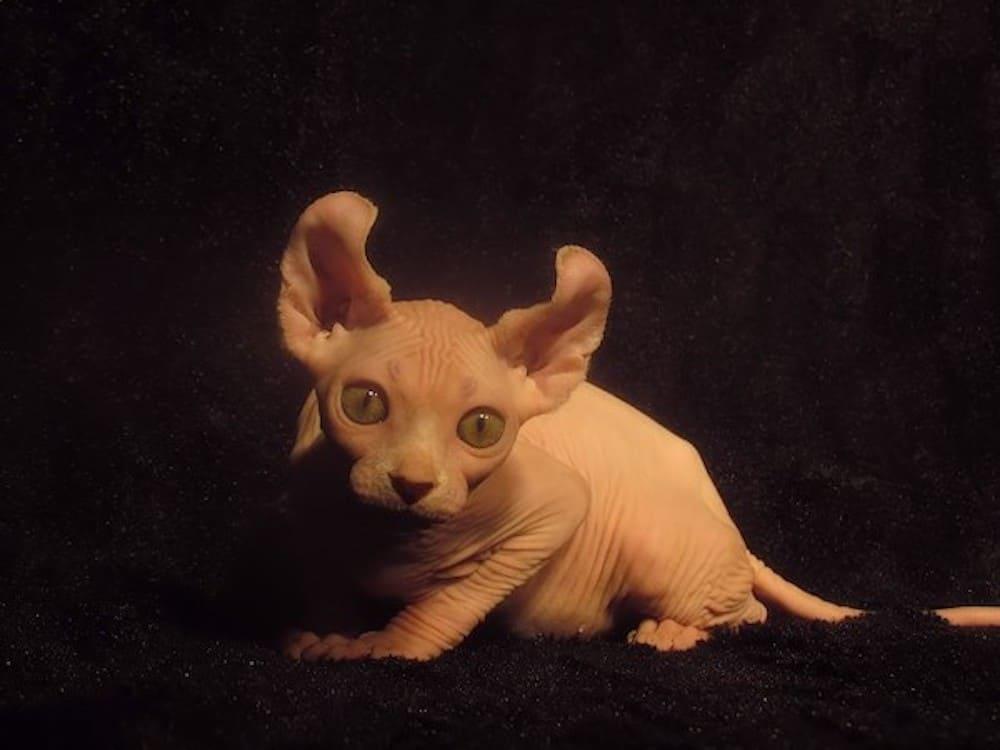 Dwelf Skinless Cat Breed