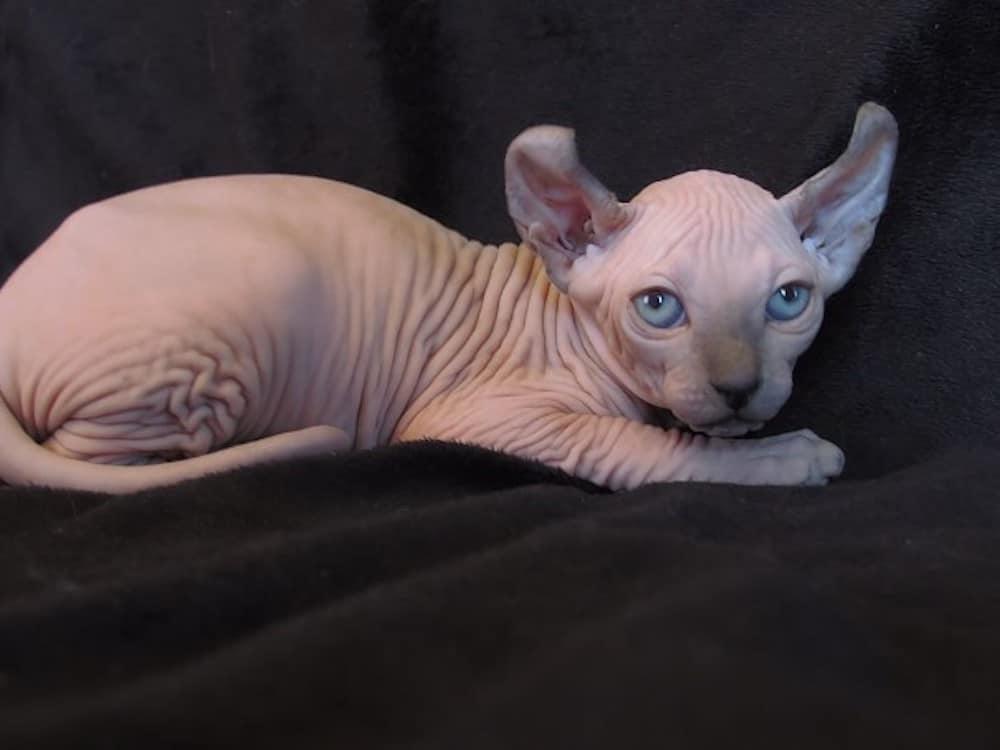 Elf Skinless Cat Breed