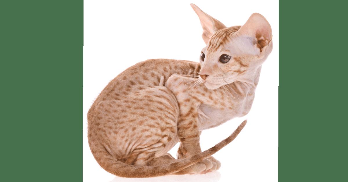 Peterbald Cat Breed