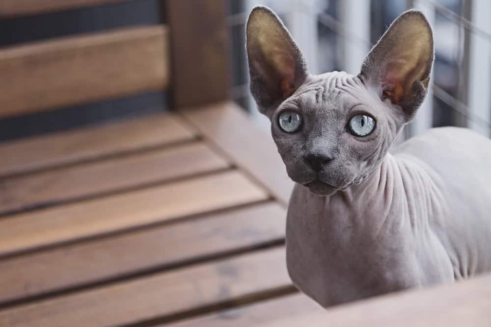 Sphynx Skinless Cat Breed