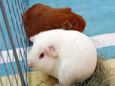 Brisbane Guinea Pigs
