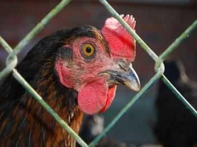 Chicken Inside Chook House