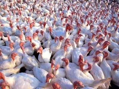 Chickens In Backyard
