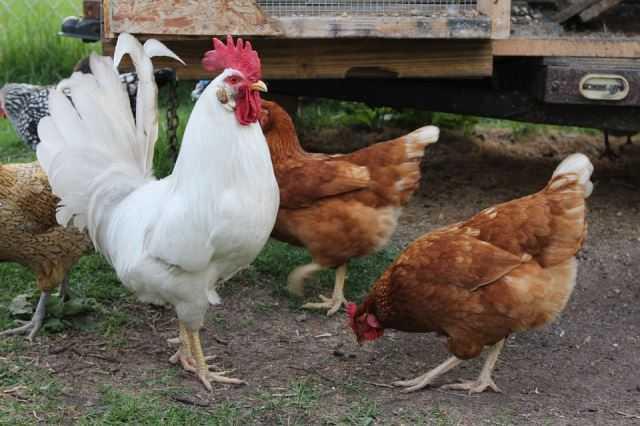 Chickens in Sydney
