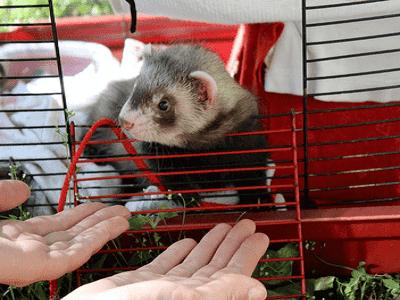 Ferret Cages - Adelaide
