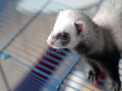 Ferret Cages - Perth