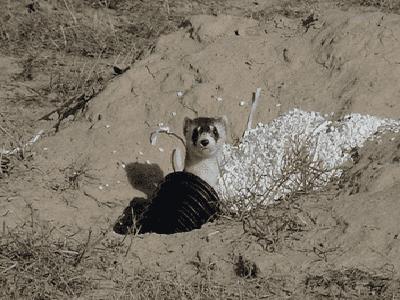 Ferrets - Adelaide