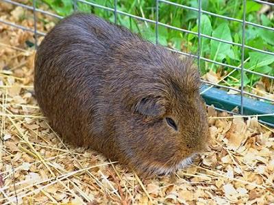 Guinea Pig Cages - Brisbane