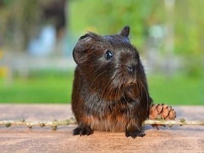 Guinea Pigs - Brisbane