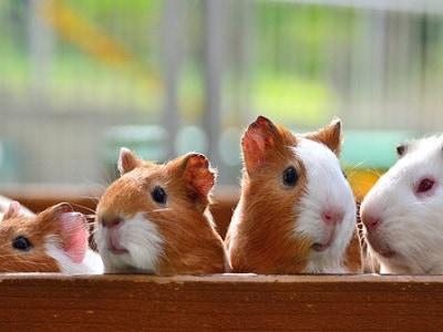 Guinea Pigs - Melbourne