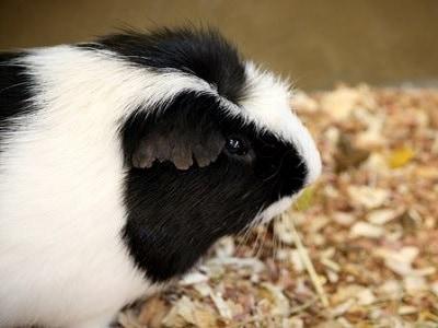 Guinea Pigs - Sydney