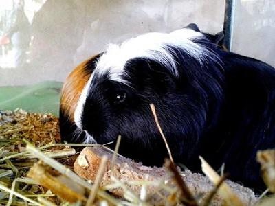 Melbourne Guinea Pigs
