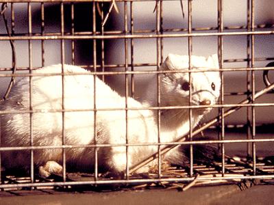 Pet Ferrets - Adelaide