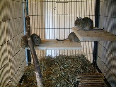 Pet Rats - Adelaide
