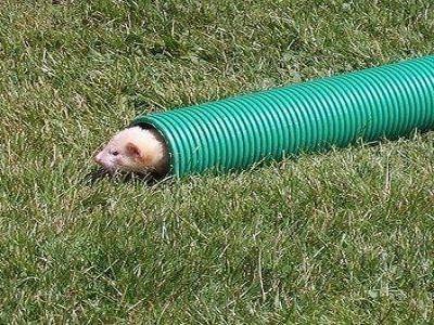 Playful Ferrets - melbourne