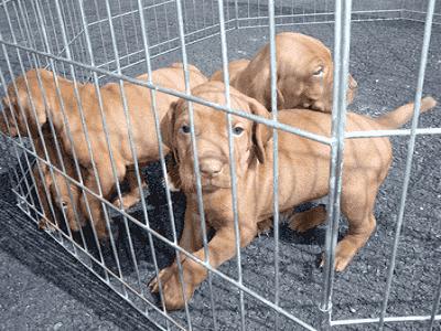 Puppies inside Playpen