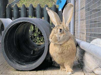 Rabbits - Sydney