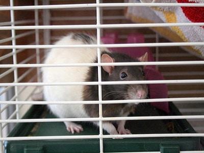 Rat Cages - Sydney Australia